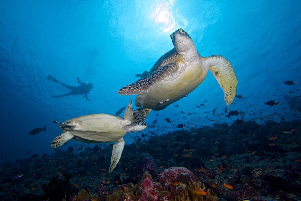 Maldives sea turtles - Luxuriate Life Magazine